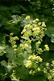 Ladysmantle1