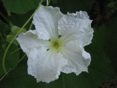 Gourdflower1